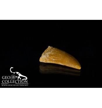 Dente di dinosauro Teropode (Abelisauride)
