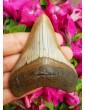 C. Megalodon, Dente di Squalo Fossile (Aurora)