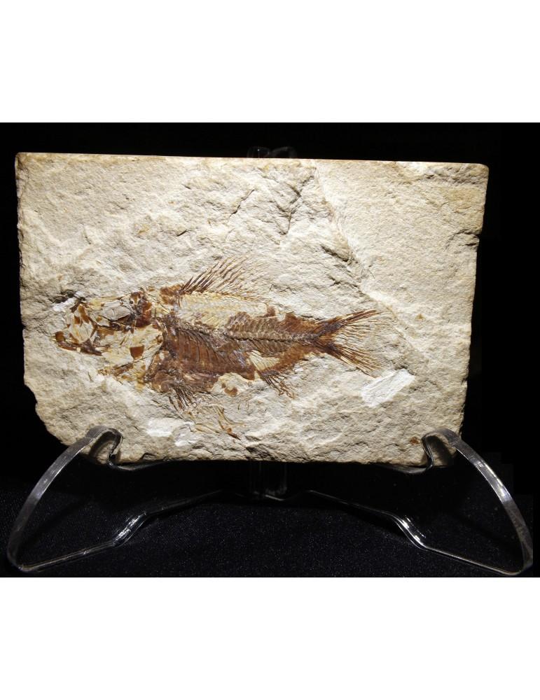 C. Megalodon, Dente di Squalo Fossile